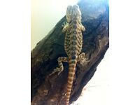 Morph bearded dragon