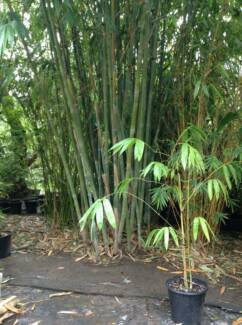 SCREENING VARIETY, NON - INVASIVE, CLUMPING BAMBOO Lower Plenty Banyule Area Preview