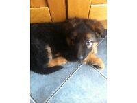 8 week old male german shepherd pup, ready now