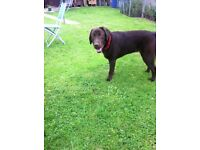 Pedigree chocolate labrador with out papers