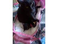 MISSING black thin build cat templehall kirkcaldy