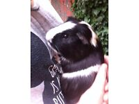 2 Loving Male Guinea Pigs for sale (sold separately)
