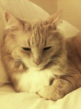 Domestic Cat for sale Wetherill Park Fairfield Area Preview