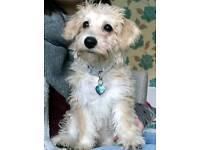 Bichon x westie puppy