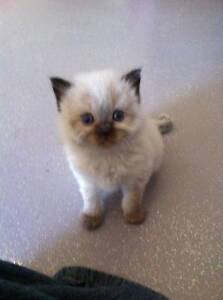 Purebred Ragdoll Kittens - no papers. Mackay Surrounds Preview