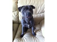 Blue Staffordshire Terrier - Free to good home