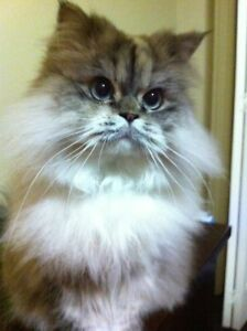 Himalayan cat to give away to a good home