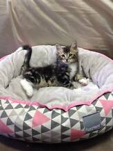 Gorgeous Kittens Beaumaris Bayside Area Preview