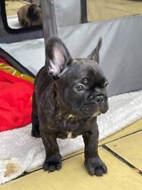 French bulldog Puppies 1 male left
