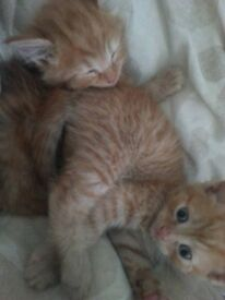 kittens for sale fluffy ginger,and rare marble Bengal ginger