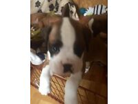 Pedigree Boxer Puppies 3 dogs 3 bitches Red & White