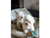 Coton De Tulear / Bichon Frise puppies now ready