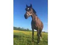 14.2hh for sale