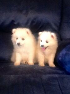 Japanese Spitz puppies Brisbane City Brisbane North West Preview