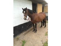 Horse For Sale 14'2 Mare