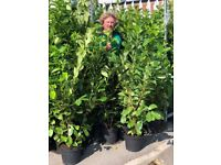 Huge Cherry Laurel hedging in stock , large selection for an instant hedge