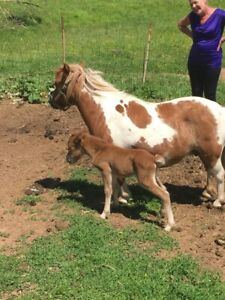 Mini colt and pony mare for sale.