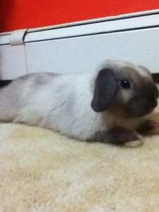 Two Holland lop rabbits for sale!