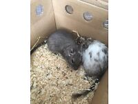 Two female Degus with cage and equipment for sale