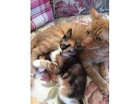 3 kittens 1 boy 2 girls ginger and tortoiseshell