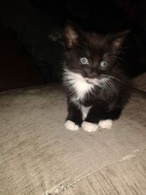 Kittens x Ragdoll ready now