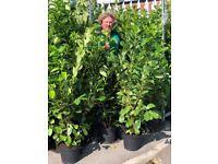 Instant Laurel hedge 5ft Lincolnshire's finests