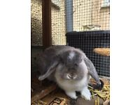 Mini rabbits 5* homes only