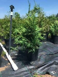 **Nursery Grown** Hedging Cedar Trees
