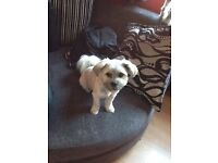 lhasa apso puppy nearly 8 months old, full pedigree
