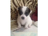 Last little boy left! Chihuahua x Maltese puppy (Malchi).