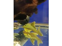 L200 Hi-Fin green phantom pleco 6-7cm