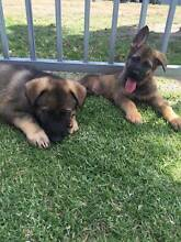 Purebred German Shephard Puppies Narre Warren Casey Area Preview