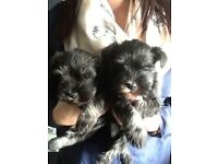 Mini Schnauzer Puppies Pups For Sale