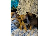 CHIHUAHUA PUPPIES 1 Girl & 1 Boy £600 Each