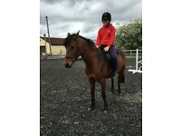 Registered Connemara gelding