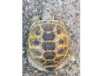 Male Horsfield Tortoise U/K Age available for Rehoming in High Wycombe