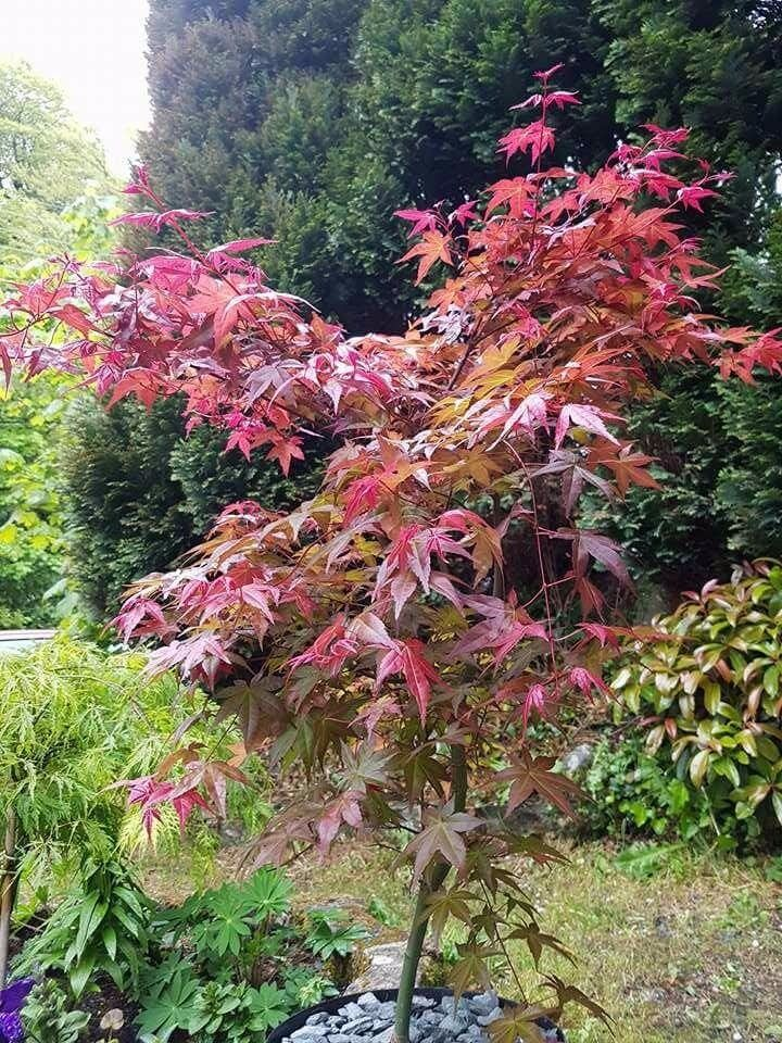 Deshojo Japanese Maple Garden Design Ideas