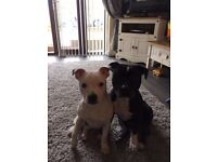 Lovely cute staffy puppy's for sale