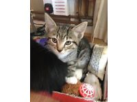 Hemingway Kittens