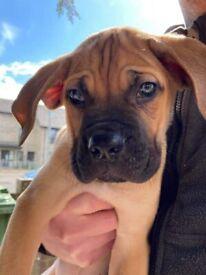 Cane Corso pups