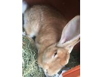 contiental giant rabbit FEMALE