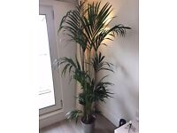 Kentina palm potted plant (indoor) Howea forsteriana from IKEA