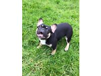 Black n tan French bulldog