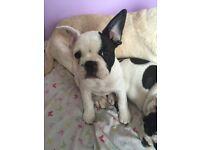 Female French Bulldog Puppy, READY NOW