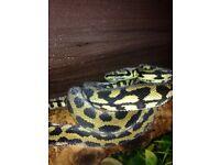Coastal carpet pythons X2