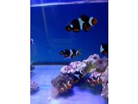 MARINE FISH / THIS IS A PAIR OF PHOTON CLOWNFISH WELL RESTED AND FEEDING WELL
