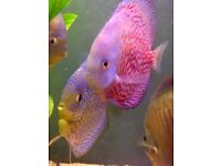 Discus Fish 7 in total for sale tropical freshwater
