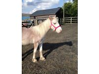 15 month old 12hh strawberry roan