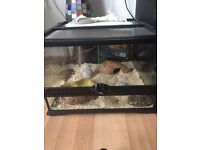 Royal Python £150 inc tank