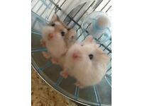 Hamsters for sale!